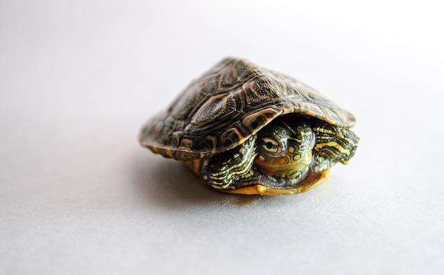 Mládě želvy nádherné.jpg